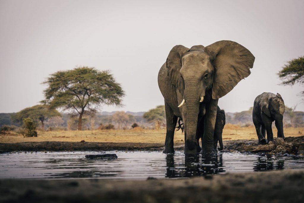 بوتسوانا تستأنف صيد الأفيال رغم التحذيرات السياحية
